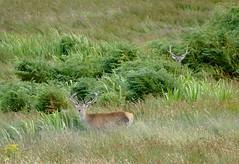 Red Stags at Lagg (chdphd) Tags: jura reddeer deer cervuselaphus cervus