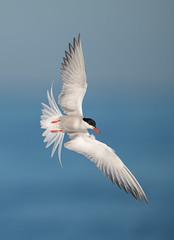 Common Tern (nikunj.m.patel) Tags: commontern birdinflight flight nature wild wildlife bird birds avian naturephotography nikon