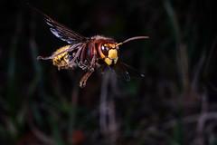 Hornisse (JS Highspeed Photography) Tags: highspeed kurzzeit pqs fuji xe2 makro macro insect insekt flugaufnahme flug flight fly hornisse wespe
