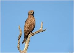 Brown-Snake-Eagle-#1__AM07520 (SueM59) Tags: birds brownsnakeeagle knp may2018 raptors