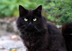 Looking at me? (Terje Håheim (thaheim)) Tags: katt skogskatt animal black forestcat norwegianforestcat nikon nikond500 d500 70200mmf28gvr