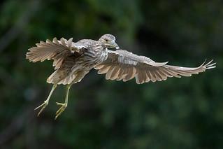 Night Heron - Juvenile