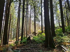 The trees below the ridge (walneylad) Tags: greenwoodpark northvancouver britishcolumbia canada park parkland woods woodland forest urbanforest rainforest trees trail moss ferns rock ridge green brown sun august summer afternoon view scenery nature