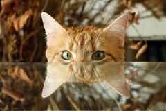 Curiosité féline (Catherine Reznitchenko) Tags: animal chat cat reflets reflections verre glass indoors intérieur roux red yeux eyes animaldecompagnie nature gato katze gatto bizarre france normandie normandy colors couleur 貓