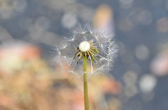 2018-05-08 (5) dandelion seed dispersion (JLeeFleenor) Tags: photos photography md maryland bowie bowiemd outside outdoors flowers flora dandelion