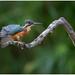 Common Kingfisher (juvenile) - IJsvogel (juveniel) (Alcedo atthis)