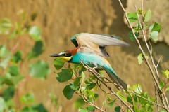 STARTING (maurosnaier) Tags: gruccione beeeater starting