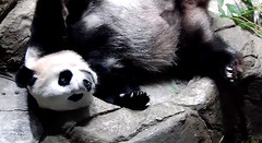 Mei Xiang (Good afternoon fans! Just catching up on my beauty rest. I'll need it if I'm going to be chasing after a new cub soon....) 2018-06-23 at 15.13.15 PM (MyFoto:)) Tags: ccncby panda endangered vulnerable meixiang smithsonian nationalzoo