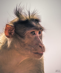 D75_3454 (@sumitdhuper) Tags: wallshare beauty monkey wildlife expression nature