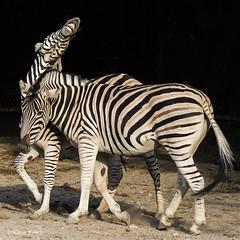 Zebras - 06091806 (Klaus Kehrls) Tags: zebras pferde tiere zoo hagenbeckstierpark hamburg