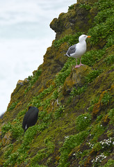 Amongst the Weeds (Sotosoroto) Tags: yaquina yaquinahead oregon bird seagull cormorant cliff pacificocean oregoncoast newport