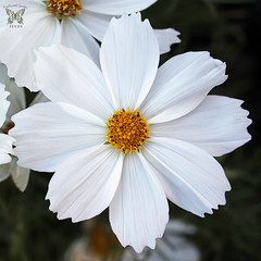 Cosmos 'Apollo White' (Swallowtail Garden Seeds) Tags: cosmos apollowhite apollocosmos macro macroflower whiteflowers whiteflower whitecosmos white annual annualflowers swallowtailgardenseeds