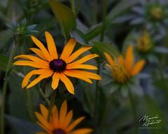 Black-eyed Susan (In Wonder Photo) Tags: flower macro floral rudbeckiadeemsii gold green sony rx100 vi markadsit
