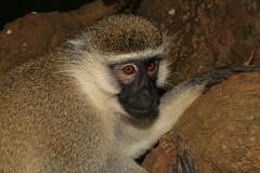 Chlorocebus pygerythrus  ♀ (Vervet Monkey) - Entebbe, Uganda (Nick Dean1) Tags: monkey vervetmonkey entebbe uganda africa chlorocebuspygerythrus