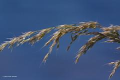 3KA09297a_C (Kernowfile) Tags: leaves seeds sky blue stmawes cornwall