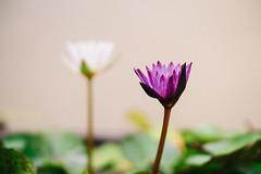 Purple & White (Bartholomew K Poonsiri) Tags: waterlily nymphaeaceae flower plant aquatic tropical petal naturallight sonyilce6000 sonye50mmf18oss purple