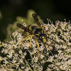 Dolichovespula sylvestris (prajpix) Tags: wood woodland forest wasp insect bug macro closeup nature highlands scotland wild wildlife umbellifer macromondays