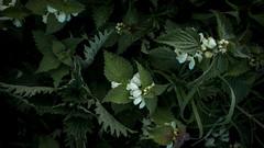 jdy100XX20170410a2054Bias0 stops.jpg (rachelgreenbelt) Tags: monocots overton england asteridsclade lamiumalbum familylamiaceae lamiumall commelinids colorwhiteandnearwhite eudicots colorswhiteyellowgreen colorwhite hampshire orderlamiales orderpoales grass grassall europe uk familypoaceae greatbritain labiateae labiateaefamily magnoliophyta poaceae poaceaefamily unitedkingdom asterids deadnettle deadnettlefamily floweringplants grassfamily lamiaceae lamiaceaefamily lamiales lamialesorder mintfamily monocotyledons oneplant singleplantportrait spermatophytes