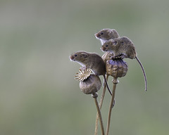 Three little mice....... (DaisyDeeM) Tags: mice nature naturalhistory tail curious interest