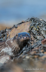 Otter portrait (Lutra lutra) (Gowild@freeuk.com) Tags: isleofmull lutralutra mull otter onshore scotland single portrait closeup sea loch island face whiskers mammal animal wild wildlife nature andrewmarshall nikon d850