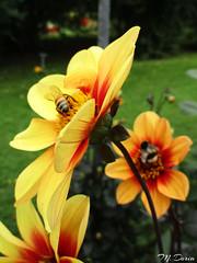 Shades of Orange and Bees (Claude M.D.) Tags: flor flores fleures fiore fiori flower flowers fior nature naturaleza natural beauty color colourful colorado pintado coloured coleur colore colori beautè belleza bellezza hermoso hermosa hermosura romantic romantico romantica artistic closeup nofilter nophotoshop intense