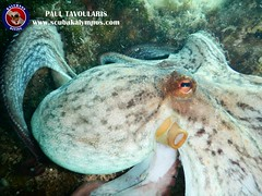 "Kalymnos Diving Octopus • <a style=""font-size:0.8em;"" href=""http://www.flickr.com/photos/150652762@N02/29120593377/"" target=""_blank"">View on Flickr</a>"