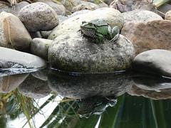 Master of the pond (sohlen.rocker) Tags: frog frosch spieglung wasser natur animal tier amphibien teichfrosch amphibians pond kiesel