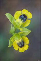 De grocs i zenitals (Ophrys lutea). (xisco99) Tags: orquidees orcchis lutea orchis cenital color mallorca es fangar flor flower macro