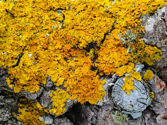 Lichen on Bark (Steve Taylor (Photography)) Tags: lichen bark trunk grey yellow newzealand nz southisland canterbury christchurch northnewbrighton tree texture