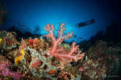 The reef (Rene Zuch) Tags: bunaken coral reef sun underwater wideangle