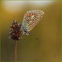Female Common Blue roosting - Prestbury Hill (glostopcat) Tags: commonbluebutterfly butterfly insect invertebrate august summer glos butterflyconservation macro prestburyhillnaturereserve