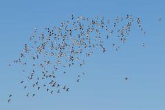 Feeling Harried (petefeats) Tags: anseriformes agriculturalcollege anatidae australia birds gatton gattoncampus lakelenore malacorhynchusmembranaceus nature pinkearedduck queensland uq uqgattoncampus