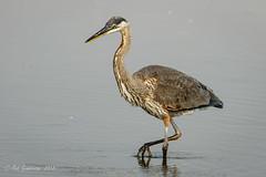 Great Blue Heron (Bob Gunderson) Tags: ardeaberodias birds california greatblueheron herons northerncalifornia pier94saltmarsh sanfrancisco wadingbirds