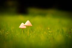 Two of a Kind (Nicholas Erwin) Tags: mushroom fungus fungi grass depthoffield dof nature naturephotography natural summer green bokeh bright velvia vivid contrast fujifilmxt2 fujixt2 fujifilm fuji xt2 xf60mmf24rmacro xf60 6024 fujixf6024 waterbury vermont vt unitedstatesofamerica usa