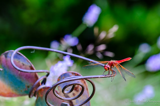 Dragonfly hanging out with my lavender