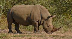 White Rhino (Aubrey Stoll) Tags: rhino wildlife eating grazing south africa umfolozi hluhluwe safari park reserve horn prey travel outdoors mammal grasses bird digging