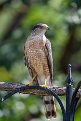 Coopers Hawk-48934.jpg (Mully410 * Images) Tags: birdwatching birding feeder backyard bird birds birdsofprey coopershawk raptor birder hawk