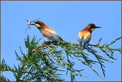 Guêpier d'Europe ( Merops apiaster )  Distance Focus : 29.85 m (Norbert . L . PHOTO) Tags: passereau migrateur plumage meropsapiaster guêpierdeurope nikon d500 200500mmf56