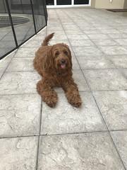 Maggie's beautiful Dooley!