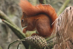 Red Squirrel (charliejb) Tags: red redsquirrel squirrel paradisepark hayle mammal rodent 2016 cornwall wildlife brush tail fur furry furred eat teeth eye pinecone cone tree
