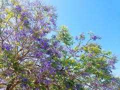 Violet Tree Light (PhoebeMeador) Tags: violet tree flower spring blossom bloom light bright sun sunshine sunny nature urbannature floral natureinthecity summer warm purple