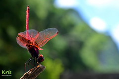 Crimson marsh glider, male (China) (|kris|) Tags: asia china crimsonmarshglider مردابسوارزرشکی ベニトンボ സിന്ദൂരത്തുമ്പി 紫紅蜻蜓 晓褐蜻 曉褐蜻 animal arthropoda insect odonata libellulidae trithemis dragonfly taurora trithemisaurora libellulaaurora trithemisadelpha trithemiscongener trithemisfraterna trithemissoror reddish brown face eyes purplish grey purple blue crimson median lateral black markings wings transparent tips amber yellow venation red legs spot liriver karst mountains hiking male macro closeup xingping yangdi guilin