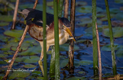 Bittern with Minnow (tclaud2002) Tags: bittern leastbittern bird wildlife minnow meal fish marsh water reeds grass nature mothernature outdoors windingwaters naturalarea windingwatersnaturalarea westpalmbeach floridausa