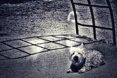 Tula cumple 8 años. Te quiero, pequeña. (elena m.d.) Tags: nikon 7dwf sigma105 monocromo texturas westi westy españa d5600 dog mascota tula elena guadalajara