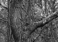 Two trees (Lower Guards Wood) (Jonathan Carr) Tags: trees black white monochrome mediumformat mamiya hp5 landscape 6x45 rural northeast