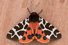 Garden Tiger (The Treerunner) Tags: beachroad moth