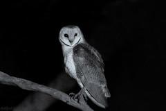 Owl Hunt DSC_3594 (BlueberryAsh) Tags: barnowl wildlife bird raptor birdofprey nightphotography tytoalba australianbird monochrome nightbird nikond500 tamron150600