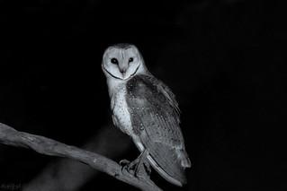 Owl Hunt DSC_3594
