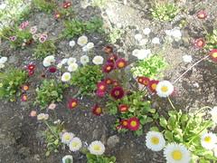 250 (en-ri) Tags: margheritine bianco rosa sony sonysti daisies verde foglie leaves