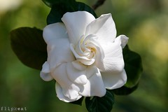 You Can't Hide Beautiful (flipkeat) Tags: nature flower flowers blossom gardenia beautiful awesome different flora closeup a77ii white rubiaceae